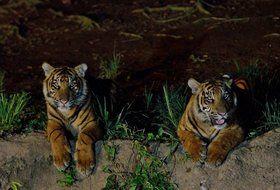 夜の上野動園のトラ