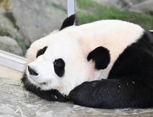 パンダ中国