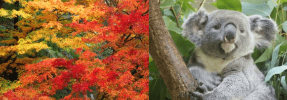 紅葉&コアラ
